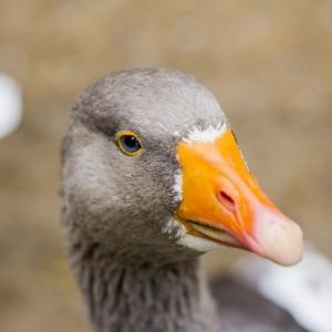 Домушник из Новопавловска ответит за кражу птицы